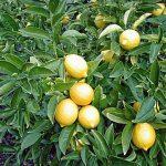 Daun Lemon